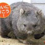 日本に7頭の激レア生物!五月山動物園のウォンバットに会ってきた