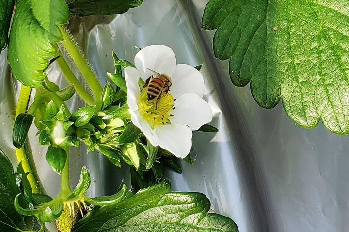 いちごの花にとまるミツバチ