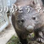 五月山動物園の人気者 ウォンバットの「マル」が永眠しました