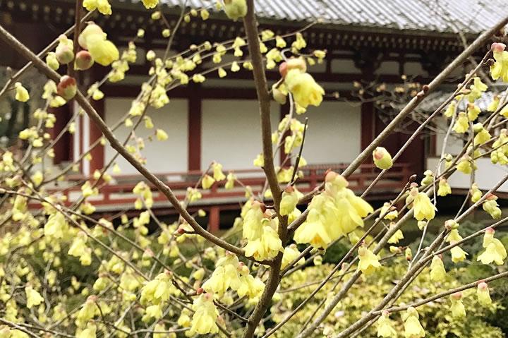 久安寺の蝋梅