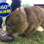 【動画】360°VR動画でウォンバットの鼻先15センチを体験してみよう!