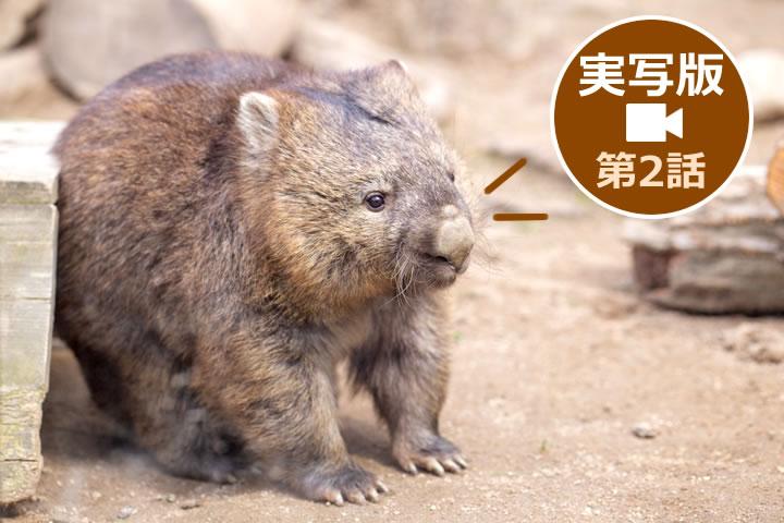 池田市立五月山動物園ウォンバット実写動画